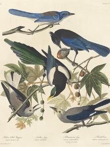 Yellow-billed Magpie, Stellers Jay, Ultramarine Jay and Clark's Crow, 1837 by John James Audubon