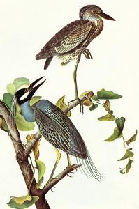 Yellow Crowned Night Heron and Little Blue Heron by John James Audubon