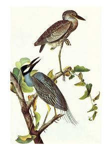 Yellow Crowned Night Heron and Little Blue Heron by John James Audubon