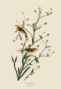 Yellow Red-Poll Warbler by John James Audubon