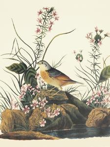 Yellow-Winged Sparrow by John James Audubon