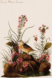 Yellow Winged Sparrow by John James Audubon