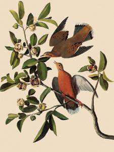 Zenaida Doves by John James Audubon