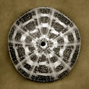 Alphonso Sea Urchin by John Kuss
