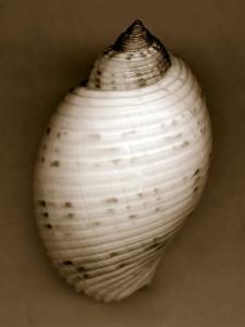 Bonnet Shell by John Kuss