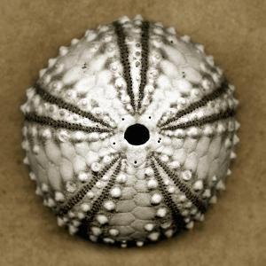 Deep Water Sea Urchin by John Kuss