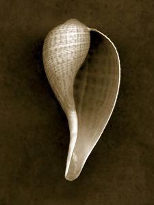 Graceful Fig Shell 2 by John Kuss