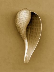Graceful Fig Shell by John Kuss
