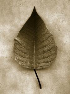 Poinsettia Leaf by John Kuss