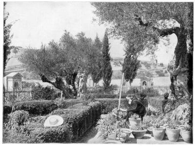 The Garden Of Gethsemane, Palestine, Late 19th Century