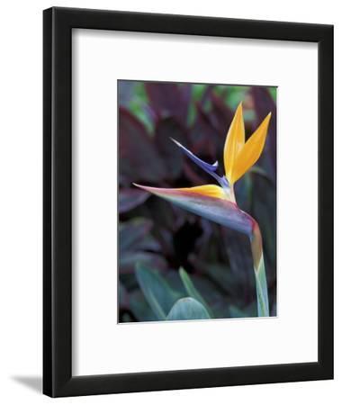 Bird of Paradise, Hawaii, USA