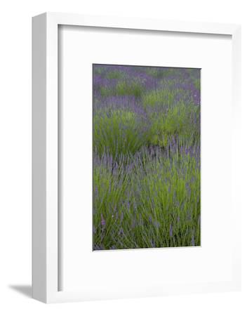 Farm Fields in Bloom at Lavender Festival, Sequim, Washington, USA