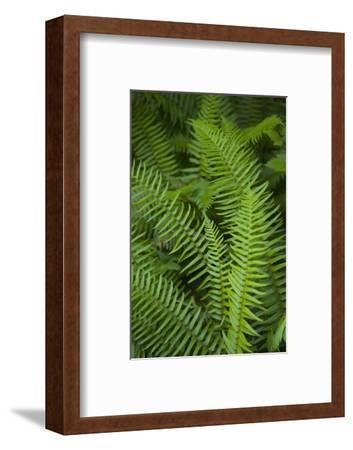 Ferns, Hoh Rain Forest, Olympic National Park, Washington, USA