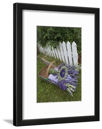 Garden, Dried Lavender at Lavender Festival, Sequim, Washington, USA