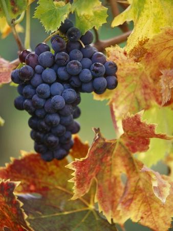 Grapes on a Vine by John & Lisa Merrill