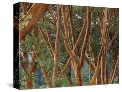 Madrona Trees on the San Juan Islands, Washington, USA