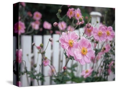 Pink Flowers by White Picket Fence, Langley, Whidbey Island, Washington, USA