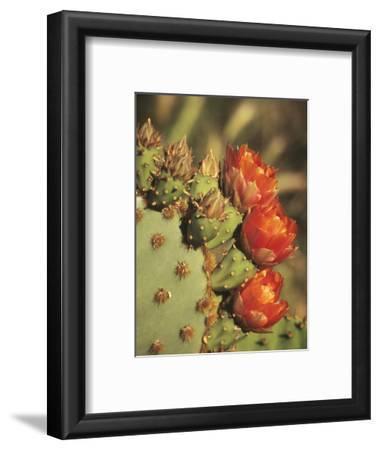 Prickly Pear Cactus in Bloom, Arizona-Sonora Desert Museum, Tucson, Arizona, USA