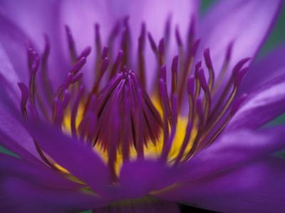 Purple and Yellow Lotus Flower, Bangkok, Thailand