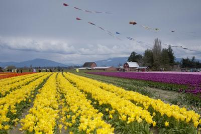 Tulips in Bloom, Annual Skagit Valley Tulip Festival, Mt Vernon, Washington, USA