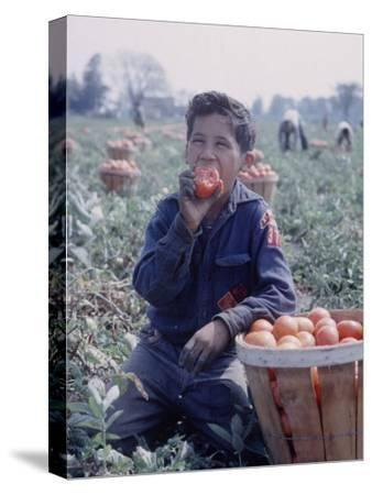 Boy Wearing an Old Scout Shirt, Eating Tomato During Harvest on Farm, Monroe, Michigan