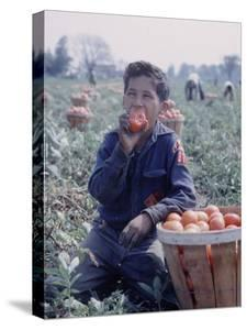 Boy Wearing an Old Scout Shirt, Eating Tomato During Harvest on Farm, Monroe, Michigan by John Loengard