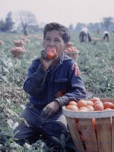Boy Wearing an Old Scout Shirt, Eating Tomato During Harvest on Farm, Monroe, Michigan by John Loengard