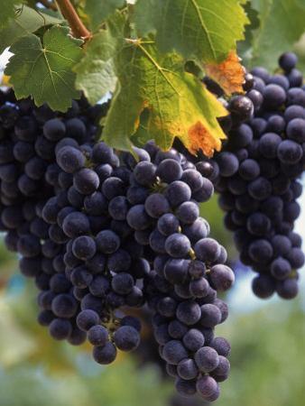 Close-up of Grapes on Vine by John Luke