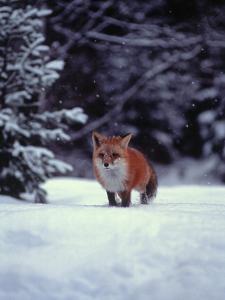 Red Fox in Snowy Wood by John Luke