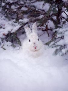 Snowshoe Hare, MT by John Luke