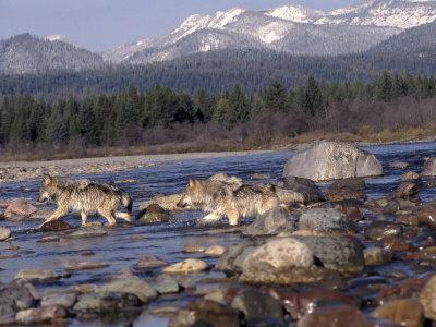 Wolves in Stream with Rocks, MT