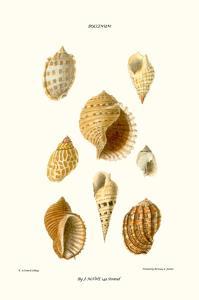 Buccinum Shells by John Mawe