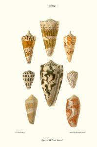 Cone Shells by John Mawe