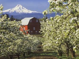 Barn in Orchard Below Mt. Hood by John McAnulty