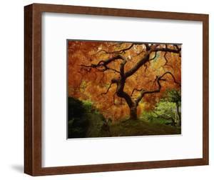 Maple Tree in Autumn by John McAnulty