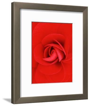 Red Pinwheel Begonia Flower