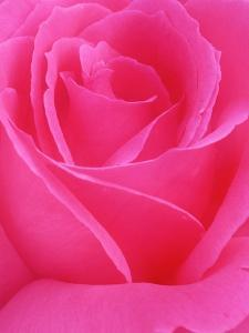 Red Rose Petals by John McAnulty