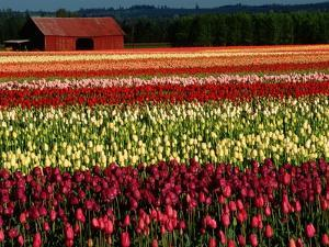 Rows of Tulips at DeGoede's Bulb Farm by John McAnulty