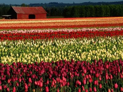 Rows of Tulips at DeGoede's Bulb Farm