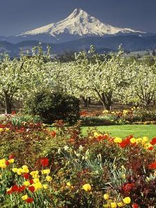 Tulips and Pear Orchard Below Mt. Hood by John McAnulty