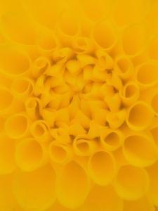 Yellow Dahlia Detail by John McAnulty