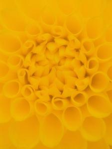 Yellow Dahlia Detail by John McAnulty