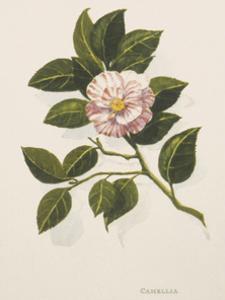 Camellia by John Miller