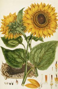 A Sunflower by John Miller (Johann Sebastien Mueller)