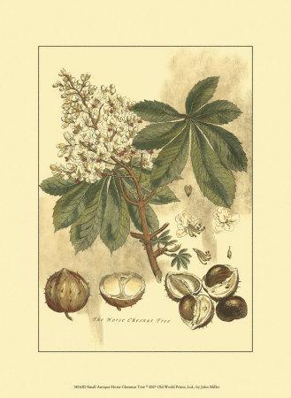 Antique Horse Chestnut Tree