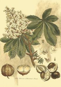 Antique Horse Chestnut Tree by John Miller (Johann Sebastien Mueller)