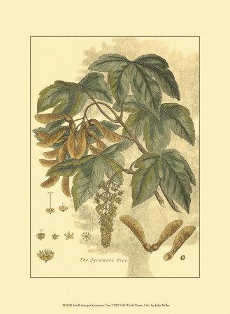 Antique Sycamore Tree
