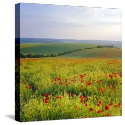 Poppies on the South Downs, Sussex, England