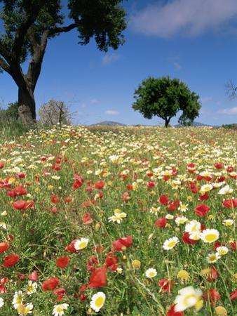 Spring Flowers, Majorca, Balearic Islands, Spain, Europe