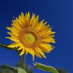 Sunflower, Tuscany, Italy, Europe by John Miller